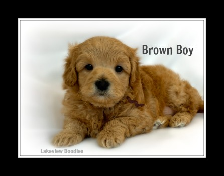 belle.brown.boy