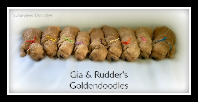 Gia's Goldendoodles