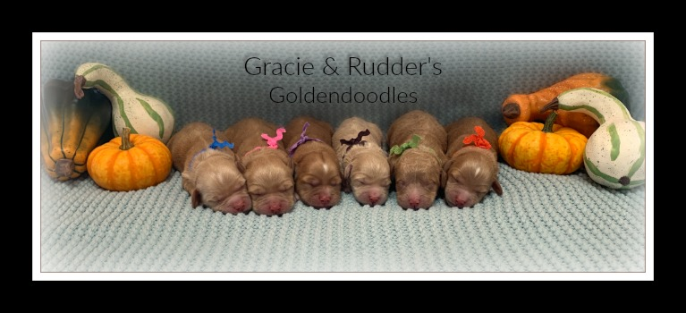Gracie's Newborn Goldendoodles